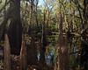 Cypress knees along the river bank.