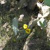 Prickly pear in bloom at KR(-)