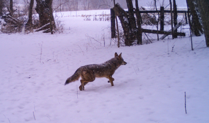 2-15-coyotee