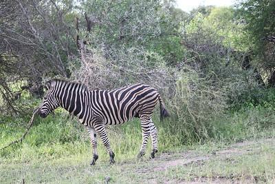 Zebra, Mala Mala, South Africa (c)2011