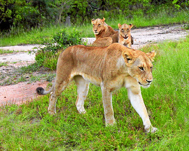 Mother Lion and Cubs, Mala Mala, South Africa (c)2011
