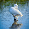 Great Egret (Ardea alba )