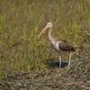 White Ibis (Eudocimus albus ) - juvenile-