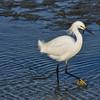 Snowy Egret ( Egretta thula )