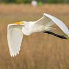 Grerat Egret