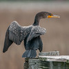 Double-crested Cormorant (Phalacrocorax auritus )