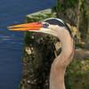 Great Blue Heron ( Ardea herodias )
