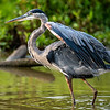 Great blue heron, Huntley Meadows
