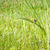 Lonely Swamp Sparrow