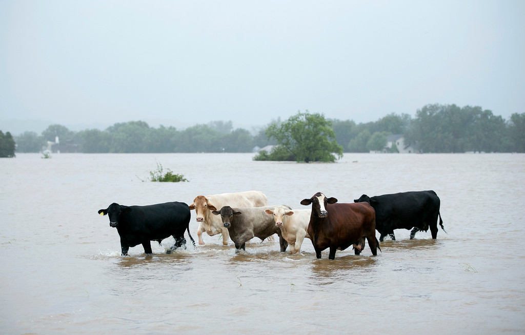 . Cattle are stranded in a flooded pasture on Highway 71 in La Grange, Texas, after Hurricane Harvey on Monday, Aug. 28, 2017. (Jay Janner/Austin American-Statesman via AP)