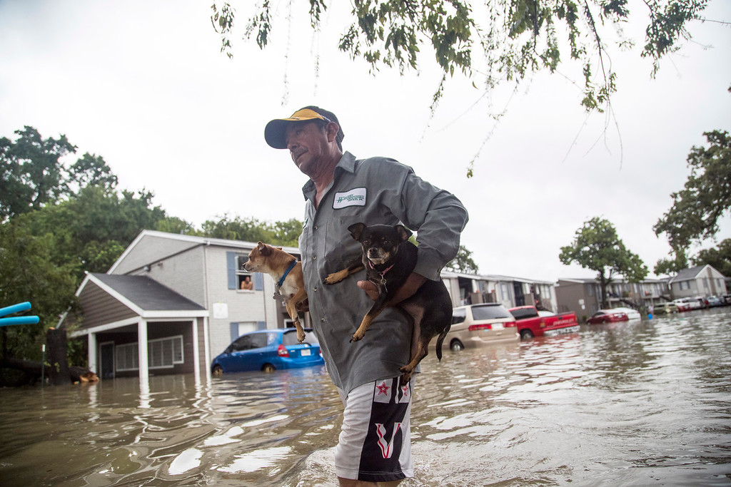 . Felipe Grande removes his two dogs from his apartment at Bayou Parc at Oak Forest, Sunday, Aug. 27, 2017, in Houston. The remnants of Hurricane Harvey sent devastating floods pouring into Houston Sunday as rising water chased thousands of people to rooftops or higher ground.( Marie D. De Jesus / Houston Chronicle )/Houston Chronicle via AP)
