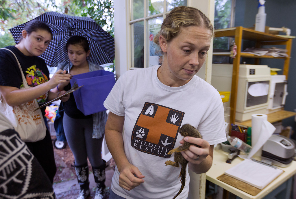 . Madeleine Brunk, left and Thea Jackman deliver a rescued squirrel to Executive Director Hayley Hudnall at Austin Wildlife Rescue in east Austin, Texas, Sunday, Aug. 27, 2017. As Tropical Storm Harvey winds blow young and old squirrels out of the trees area residents bring the injured wildlife to the animal rescue center. (Stephen Spillman/Austin American-Statesman via AP)