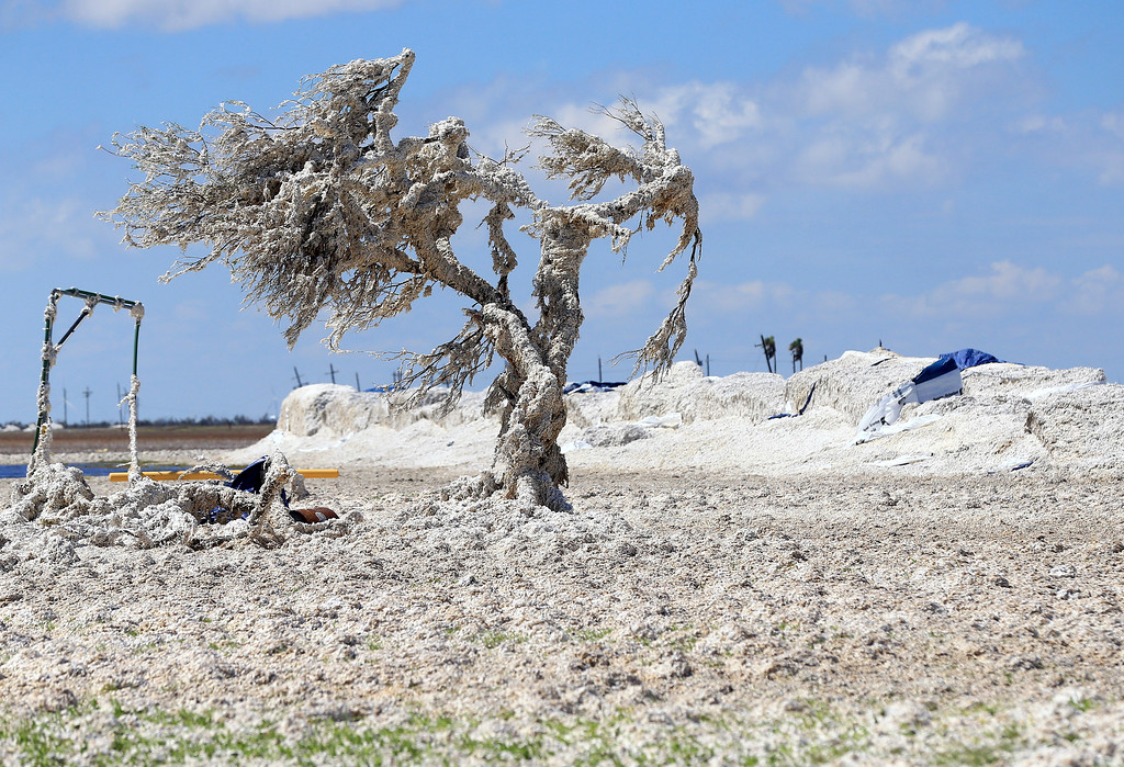 . A tree is covered in cotton after Hurricane Harvey damaged several cotton bales Tuesday, Aug. 29, 2017, near Bayside, Texas. (Gabe Hernandez/Corpus Christi Caller-Times via AP)