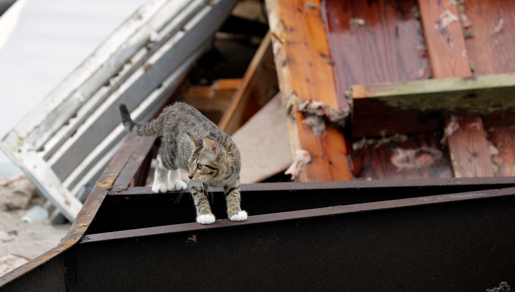 . A cat wanders through debris left by the effects of Hurricane Harvey, Monday, Aug. 28, 2017, in Rockport, Texas. A neighbor in the are took in the cat and provided food and water. (AP Photo/Eric Gay)