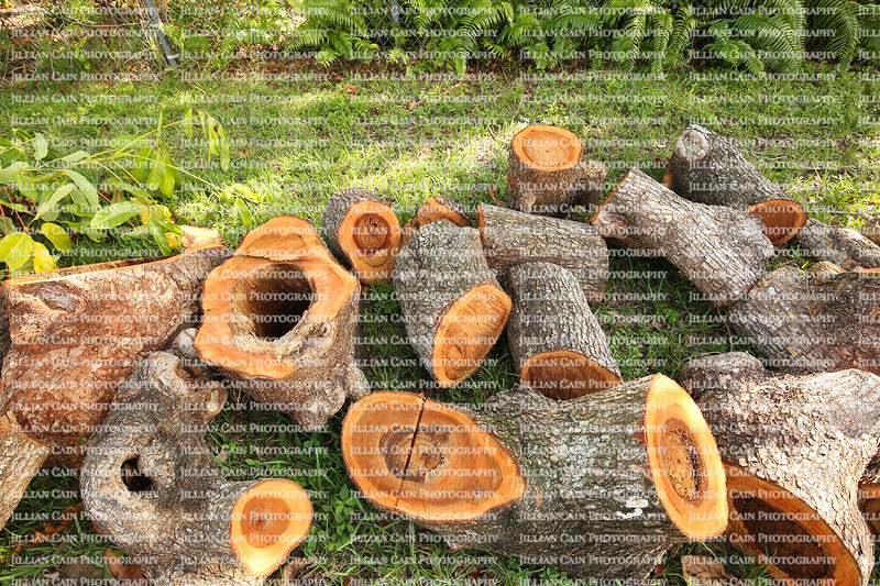 Rotten Water Oak tree trunks, rotten on the inside, cut and stacked in a Florida garden due to Hurricane Irma.