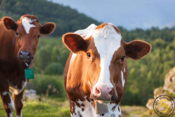 Husdyr - Landbruk - Agroculture