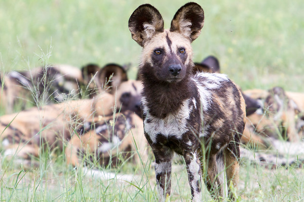 A pack of painted wild dogs, resting after hunting a wildebeest in Hwange National Park, Zimbabwe.