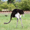 Ostrich in Hwange National Park, Zimbabwe.