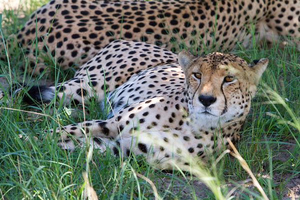 Cheetahs in Hwange National Park, Zimbabwe.