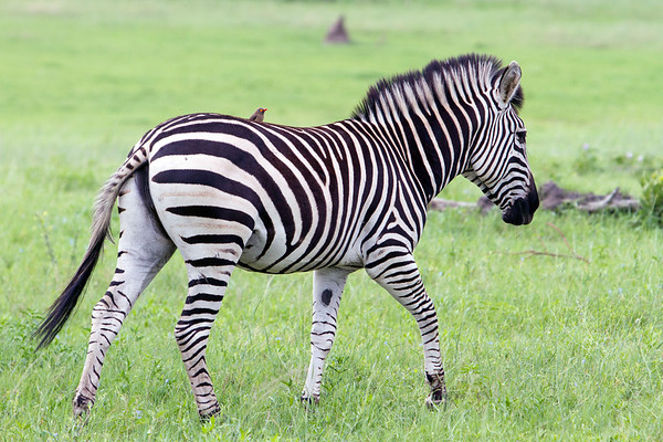 Zebra and bird in Hwange National Park, Zimbabwe.