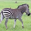 Zebra and bird in Hwange National Park, Zimbabwe.