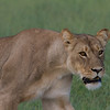 A lioness in Hwange National Park, Zimbabwe.