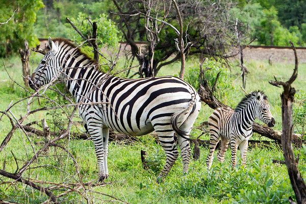 Mom and baby zebras in Hwange National Park, Zimbabwe.