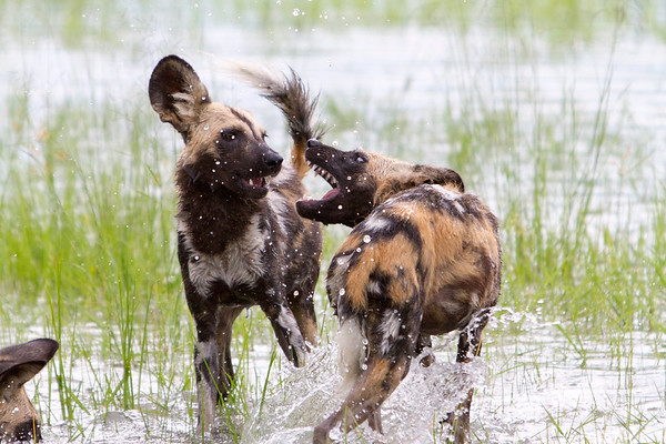 A pack of painted wild dogs, playing after hunting a wildebeest in Hwange National Park, Zimbabwe.