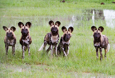 Painted wild dog pups, playing after hunting a wildebeest in Hwange National Park, Zimbabwe.