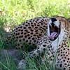Cheetah yawning in Hwange National Park, Zimbabwe.