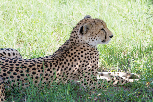 Cheetah in Hwange National Park, Zimbabwe.