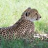 Cheetah in Hwange National Park, Zimbabwe.