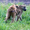 Mom carrying a baby baboon in Hwange National Park, Zimbabwe.