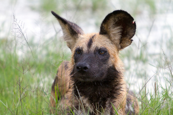 Endangered painted wild dog in Hwange National Park, Zimbabwe.
