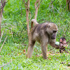 Mother and baby baboons in Hwange National Park, Zimbabwe.