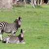 Zebras in Hwange National Park, Zimbabwe.
