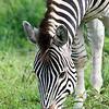 Zebra in Hwange National Park, Zimbabwe.