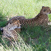 Cheetahs in Hwange National Park, Zimbabwe.