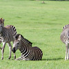 Adult and baby zebras in Hwange National Park, Zimbabwe.
