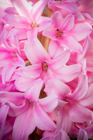 Hyacinthus orientalis 'Pink Surprise'