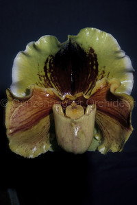Paphiopedilum Lippewunder 'Marianne'