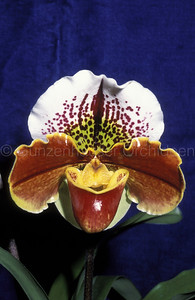 Paphiopedilum (Fred Cosanka x Sparsholt)
