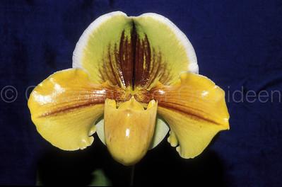 Paphiopedilum (Lippewunder x Olympic Renny)