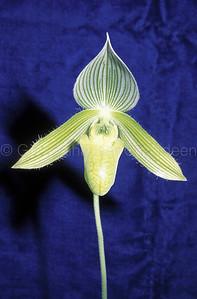 Paphiopedilum wardii alba