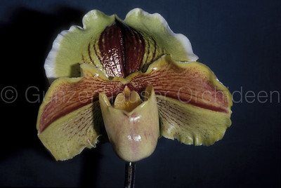 Paphiopedilum Lippewunder 'Allersegg'