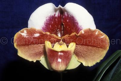 Paphiopedilum (Danella x W. Churchill)