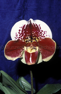 Paphiopedilum (W. Churchill x Maginot Hill) x (Vision x World Exploit)
