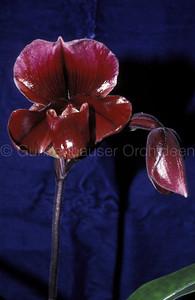 Paphiopedilum (Orchilla x Mange)