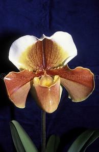 Paphiopedilum (Copperware x Danella)