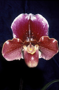 Paphiopedilum (Winner's Circle x Rose Bowl)